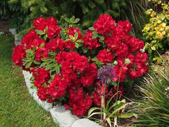 rhododendron red jack garden design ideas. Black Bedroom Furniture Sets. Home Design Ideas